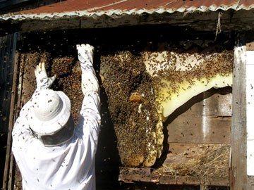 Honey Bee Swarm Removal